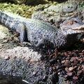 Krokodýlek