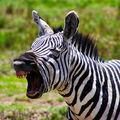 I zebra zívá