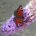 Motýl- Babočka Paví oko na motýlím keři.