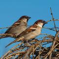 Vrabci v zimě