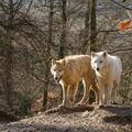 Vlci na cestách