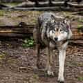 Vlk eurasijský (Canis lupus lupus)