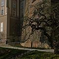 kosilaty strom v zahradach Prazskeho hradu
