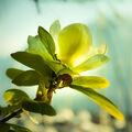 Květ Magnolie