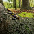 Salamandra Salamandra_2