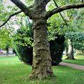 Starý strom z Poděbrad