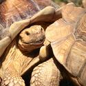 Želví přetlačovaná v ZOO