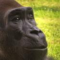 Gorila nížinná (Gorilla gorilla)