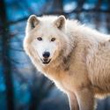 Vlk polární