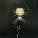 Argiope lobata - Křižák laločnatý