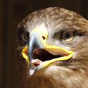 Orel stepní (Aquila rapax)