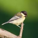 ptačí akrobatka