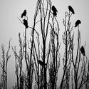 Královstvo vrán