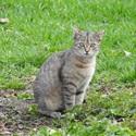 Kočka domácí (Felis silvestris catus)
