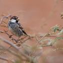 Vrabec pokřovní (Passer hispaniolensis)