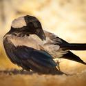 Vrána z Rhodosu