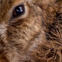 V závětří - zajíc polní