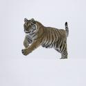 Tygřice