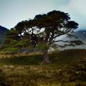 Jedna z mnoha krásných borovic v Glen Affric, Skotsko