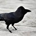 Corvus culminatus