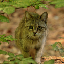 Kočka divoká v přirozeném prostředí