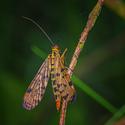 hmyzák Pepa