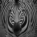 Zebra Chapmanova