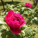 Čas růží