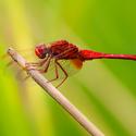 Vážka červená - kluk