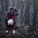 Ený, stafordšírský bulteriér, sama v temném lese...