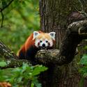 Panda červená