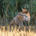 Myš útočí na lišku?