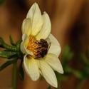Pilná včelička...