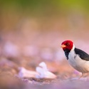 Kardinal černohřbetý