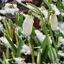 Nedočkavé sněženky