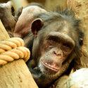 Šimpanz hornoguinejský