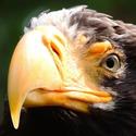 Orel král ptáků