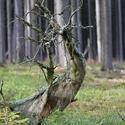 Bludný brdský kořen