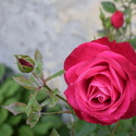 Růže z děčínského zámku.