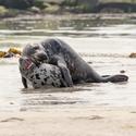 Tulící se tuleni