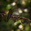 Kolibřík Bouguerův