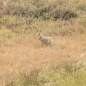 Kojot v podzimni trave