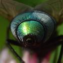 Bzučivka zelená