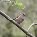 Vrabec domáci (Passer domesticus)