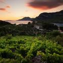 Vinice v Žuljaně