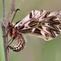Pestrokřídlec podražcový (Zerynthia polyxena)
