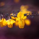 žlutá krása
