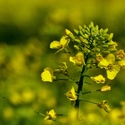 Žlutá ve žluté....
