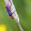 Páteříček obecný (Cantharis rustica)