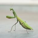 Mantis religiosa - Kudlanka nábožná